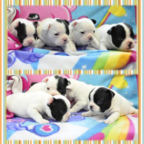 フレンチブルドッグ ブリーダー子犬販売専門店 Angel Wan 東京 神奈川 千葉