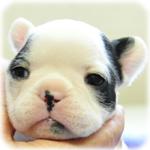 フレンチブルドッグ ブリーダー子犬販売専門店 Angel Wan 横浜