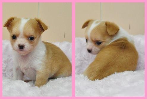 チワワ ブリーダー子犬販売専門店 Angel wan 東京 神奈川 千葉
