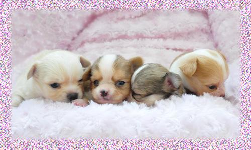 チワワ ロング 子犬販売の専門店 AngelWan 横浜 神奈川
