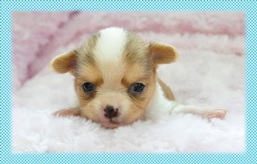 チワワ ロング フォーン&ホワイト オス 子犬販売の専門店 AngelWan 横浜