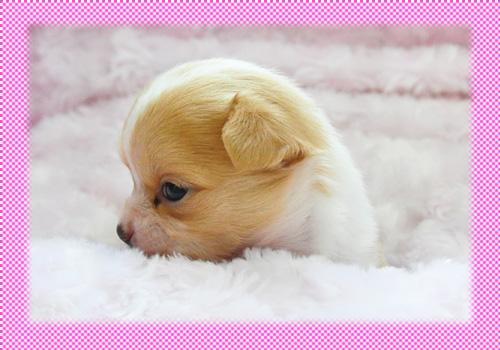 チワワ ロング フォーン&ホワイト 子犬販売の専門店 AngelWan 横浜