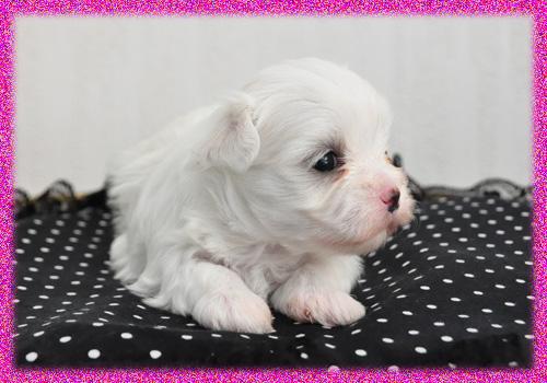 マルチーズ メス 子犬販売の専門店 AngelWan 横浜 神奈川県