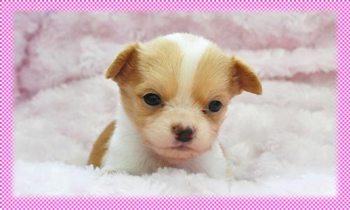 チワワ ロング フォーン&ホワイト メス 子犬販売の専門店 AngelWan 横浜