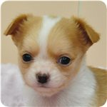チワワ ブリーダー子犬販売専門店 Angel wan 横浜