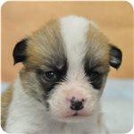 ウェルシュコーギーペンブローク ブリーダー子犬販売専門店 Angel wan 横浜