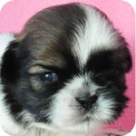 シーズー ホワイト&ゴールド オス 子犬販売の専門店  AngelWan 横浜