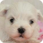 マルチーズ ホワイト オス 子犬販売の専門店 AngelWan 横浜