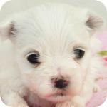 マルチーズ ホワイト オス 子犬販売の専門店 AngelWan 横浜 神奈川県