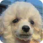 トイプードル ホワイト オス 子犬販売の専門店 AngelWan 横浜 神奈川県
