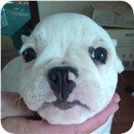 フレンチブルドッグ ブリーダー子犬販売専門店 AngelWan 横浜