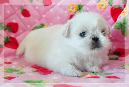 ペキニーズ ブリーダー子犬販売専門店 Angel Wan 東京 神奈川 千葉