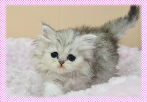 ペルシャチンチラ チンチラシルバー 子猫販売 AngelWan 横浜