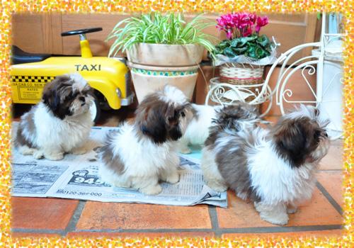 シーズー 子犬販売の専門店 AngelWan 横浜 神奈川