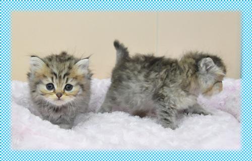 ペルシャチンチラ チンチラゴールデン 子猫販売 AngelWan 横浜