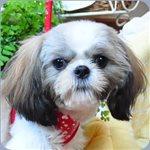 シーズー ブリーダー子犬販売専門店 Angel wan 横浜