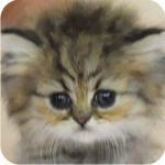 ペルシャチンチラ チンチラゴールデン オス 子猫販売 AngelWan 横浜 神奈川
