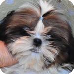 シーズー ホワイト&ゴールド オス 子犬販売の専門店 AngelWan 横浜 神奈川