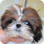 シーズー ホワイト&ゴールド メス 子犬販売の専門店 AngelWan 横浜 神奈川
