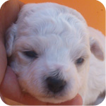 ビションフリーゼ ホワイト オス 子犬販売の専門店 AngelWan 横浜 神奈川