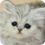 ペルシャチンチラ チンチラシルバー メス 子猫販売 AngelWan 横浜 神奈川