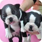 ボストンテリア オス メス 子犬販売の専門店 AngelWan 横浜 神奈川