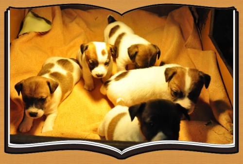 ジャックラッセルテリア ブリーダー子犬販売専門店 Angel Wan 横浜
