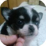 チワワ ブリーダー ペットショップ 子犬販売の専門店 AngelWan 横浜