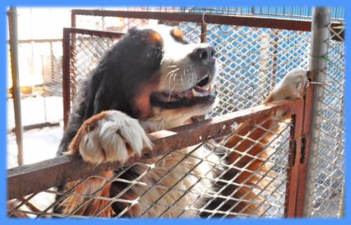 バーニーズマウンテンドッグ 父犬 子犬販売の専門店 AngelWan 横浜