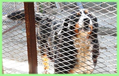 バーニーズマウンテンドッグ 母犬 子犬販売の専門店 AngelWan 横浜