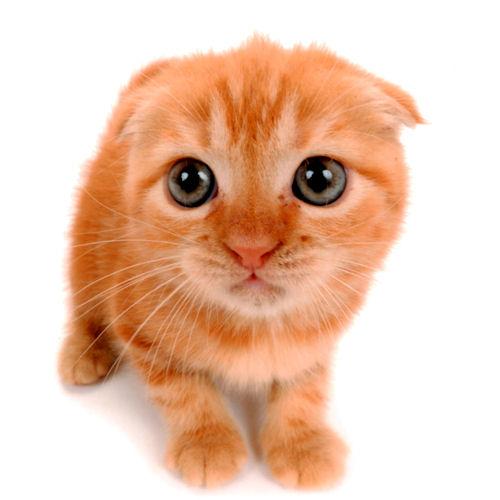 アイドル 猫 ブリーダー こねこ AngelWan ペットショップ