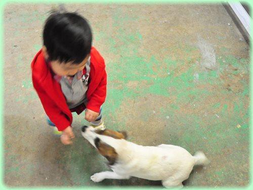 ジャックラッセルテリア ブリーダー子犬販売専門店 AngelWan 東京 神奈川 千葉