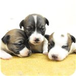 ジャックラッセルテリア ブリーダー子犬販売専門店 AngelWan 横浜