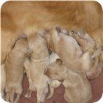 ゴールデンレトリバー ブリーダー子犬販売専門店 AngelWan 横浜