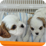 キャバリア メス 子犬販売の専門店 AngelWan 横浜