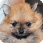 ポメラニアン メス オレンジ 子犬販売の専門店 AngelWan 横浜
