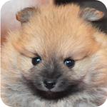 ポメラニアン オス オレンジ 子犬販売の専門店 AngelWan 横浜
