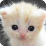 スコティッシュフォールド レッドタビー&ホワイト AngelWan 横浜 神奈川
