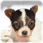 パピヨン ブリーダー子犬販売専門店 Angel Wan 横浜
