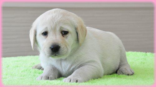 眠たげなラブラドールレトリバーの子犬