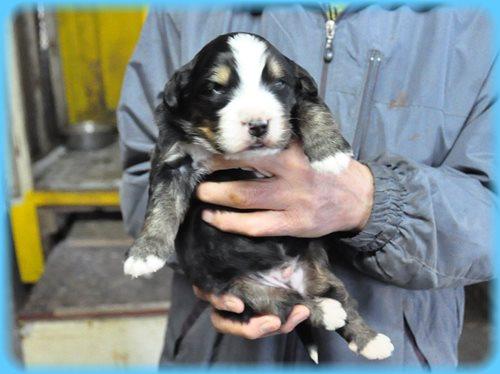 バーニーズマウンテンドッグ ブリーダー子犬販売専門店 AngelWan 東京 神奈川 千葉