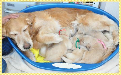 ゴールデンレトリバー オス メス 子犬販売の専門店 AngelWan 横浜
