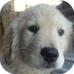 ゴールデンレトリバー 子犬販売の専門店 AngelWan 横浜