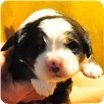 バーニーズマウンテンドッグ ブリーダー子犬販売専門店 AngelWan 横浜