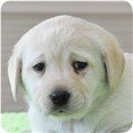 ラブラドールレトリバー ブリーダー子犬販売専門店 AngelWan 横浜