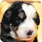 バーニーズマウンテンドッグ トライカラー オス 子犬販売の専門店 AngelWan 横浜