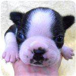 ボストンテリア 子犬販売の専門店 AngelWan 横浜
