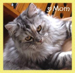 スコティッシュフォールド 母猫 AngelWan 横浜