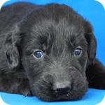 フラットコーテッドレトリバー ブラック メス 子犬販売の専門店 AngelWan 横浜