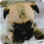 ケアーンテリア ブリーダー子犬販売専門店 AngelWan 横浜